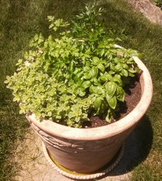 Planted herbs for preserving