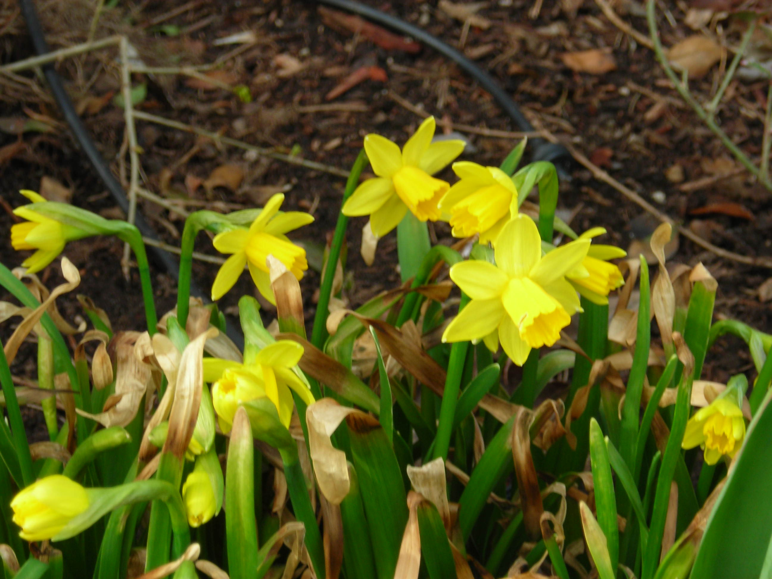 Daffodils awaking from winter
