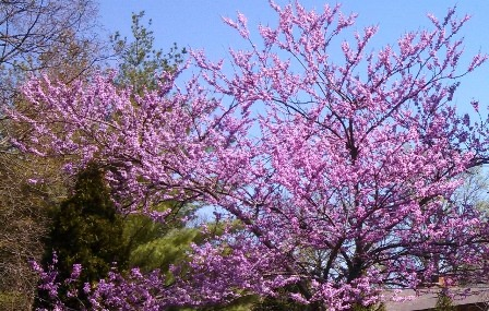 Back Yard Red Bud Tree